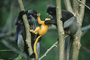 Female Dusky Leaf Monkey (Trachypithecus obscurus) attempting to take a yellow-furred newborn from its mother, Thailand 1996  -  Elio Della Ferrera