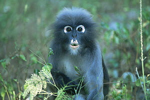 Male Dusky Leaf Monkey (Trachypithecus obscurus) eating leaves, Thailand 1996  -  Elio Della Ferrera