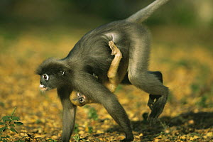 Female Dusky Leaf Monkey (Trachypithecus obscurus) running, carrying baby hanging on upside down, Thailand 1996  -  Elio Della Ferrera