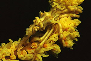 Spider crab / Mickey mouse crab {Xenocarcinus tuberculatus} camouflaged on whip coral, Indo Pacific - Jurgen Freund