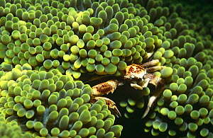 Anemone crab (Neopetrolisthes ohshimai) in sea anemone, Indo-Pacific - Jurgen Freund