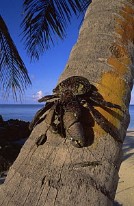 Coconut crab {Birgus latro} blue form, climbing down Coconut palm tree, Aldabra, Seychelles - Pete Oxford