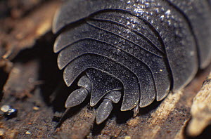 Close up of rear pinchers of Common woodlice {Porcellio scaber} UK  -  Warwick Sloss
