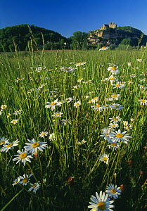 Daisies in a field with the chateau of Beynac-et-Cazerac beyond, Dordogne Valley, Perigord, France  -  David Noton