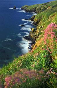 Wild flowers on the cliffs of The Lizard, Cornwall, England, UK  -  David Noton