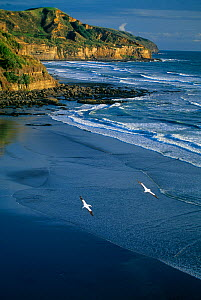 Gannets in flight over the beach at Muriwai, west coast of North Island, New Zealand  -  David Noton