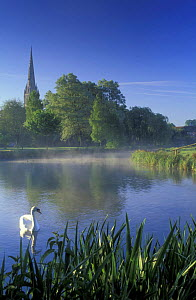 Swan on the River Stour, Salisbury, Wiltshire, England, UK  -  David Noton