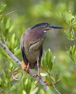 Green Heron {Butorides virescens} perching in tree, Florida, USA  -  Barry Bland