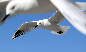 Buller's Gull {Chroicocephalus bulleri} in flight. New Zealand - Barry Bland
