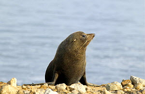 New Zealand fur seal {Arctophalus foresteri} Dunedin, New Zealand.  -  Barry Bland