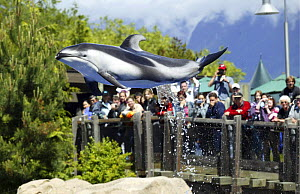 Pacific white-sided dolphin {Lagenorhynchus obliquidens} jumping with tourists in background, during performance at Vancouver Aquarium, Canada.  -  Barry Bland