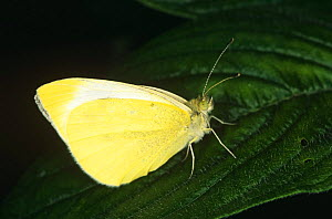 Cloudless sulphur butterfly (Phoebis sennae) captive, USA - Steven David Miller