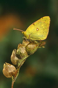 Clouded yellow butterfly (Colias crocea) on seedhead, Sussex, UK - George McCarthy