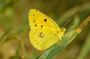 Clouded yellow butterfly (Colias crocea) UK - Phil Chapman