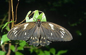 A female Cairns birdwing butterfly (Ornithoptera euphorion) warms herself in the early morning sun in a walk-through aviary/habitat at the Kuranda Butterfly Farm in North Queensland. Captive.  -  Steven David Miller