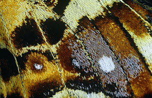 Close up of wing pattern of Map butterfly (Araschnia levana) Germany - Hans Christoph Kappel
