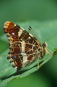 Map butterfly (Araschnia levana) Germany - Hans Christoph Kappel