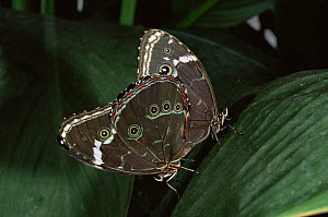 Morpho butterflies mating {Morpho achilles} captive, from Amazonia, Ecuador  -  Pete Oxford
