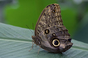 Owl butterfly {Caligo eurilochus}  -  Brian Lightfoot