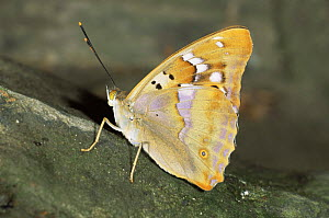 Lesser purple emperor butterfly {Apatura ilia clytie} wings closed, Germany  -  Hans Christoph Kappel