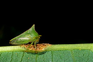 Thorn mimic treehopper (Membracidae) Cloud forest, Ecuador - Pete Oxford