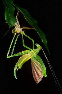 Narrow winged katydid (Tettigonidae) moulting, Yasuni NP, Ecuador, sequence 4/4  -  Pete Oxford