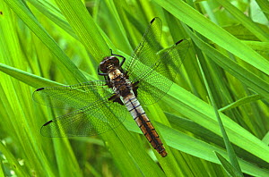 Chalk fronted skimmer dragonfly (Ladona julia) USA  -  Larry Michael