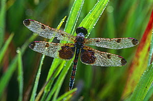 Calico pennant dragonfly (Celithemis elisa) in morning dew,  USA  -  Larry Michael
