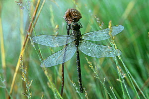 Lance tipped darner (Aeshna constricta) Wisconsin, USA - Larry Michael
