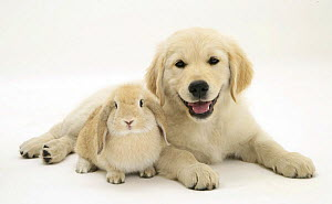 Golden Retriever pup lying down with young Sandy Lop rabbit.   NOT AVAILABLE FOR BOOK USE - Jane Burton