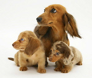 """Red Dapple Miniature Long-haired Dachshund bitch, """"Cleo"""", with two pups, looking to one side.  -  Jane Burton"""