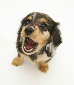 Silver Dapple Miniature Long-haired Dachshund pup looking up and playfully snapping.  -  Jane Burton