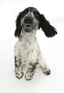 Cocker Spaniel standing on hind legs and bouncing up.  -  Jane Burton