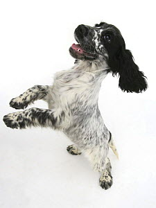 Cocker Spaniel standing on hind legs and bouncing  -  Jane Burton