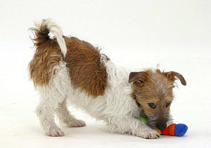 Jack Russell Terrier pouncing a toy, play-bowing as she picks it up. - Jane Burton