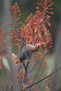 Gila woodpecker {Melanerpes uropygialis} feeding on nectar from Aloe Vera blossoms, Sonoran desert, Arizona, USA - John Cancalosi