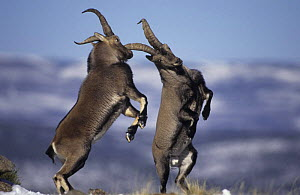 Two male Spanish ibex {Capra pyrenaica} fighting, Pyrenees, Spain. Ibex would win the fencing medal in an animal olympics competition!  -  John Cancalosi
