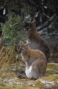 Bennett's / Red-necked Wallaby {Macropus rufogriseus} joey browsing with Mother, in snowy conditions, Australia  -  John Cancalosi
