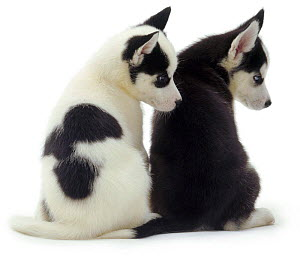 Back view of two sitting Siberian Husky pups, 6 weeks old, looking to one side  -  Jane Burton