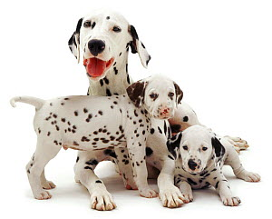 Dalmatian lying with two pups. - Jane Burton