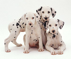 Three Dalmatian puppies, 8 weeks old. The pup with one blue eye is unilaterally deaf.  -  Jane Burton