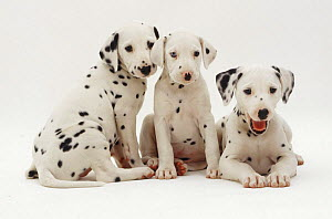 Three Dalmatian pups, 8 weeks old, sitting and lying together. The pup with one blue eye is unilaterally deaf.  -  Jane Burton