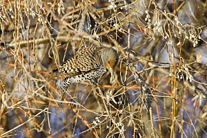 Northern Flicker {Colaptes auratus} camouflaged in tree, Denver, Colorado,  USA  -  Shattil & Rozinski