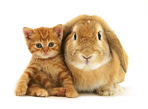 British Shorthair red spotted kitten sitting with sandy Lop rabbit. NOT AVAILABLE FOR BOOK USE - Jane Burton
