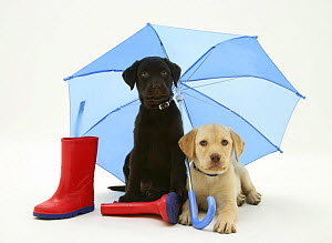 Yellow and Chocolate Labrador Retriever pups with wellies under a blue umbrella.  -  Jane Burton