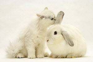 Chinchilla kitten sniffing the ear of a young silver colourpoint rabbit. NOT AVAILABLE FOR BOOK USE  -  Jane Burton