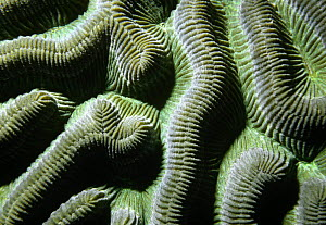 Close up of patterns in Brain coral (Colpophyllia natans) Carriacou, Caribbean  -  Martha Holmes