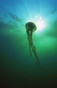 Compass jellyfish {Chrysaora hysoscella} with predated fish amongst tentacles, Isles of Scilly, UK - Michael Pitts