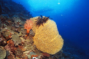 Fan coral {Subergorgia mollis} with Feather star attached, Philippines - Jurgen Freund
