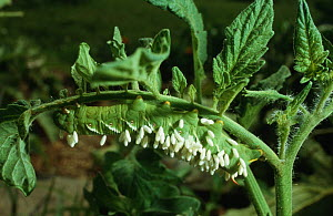 Caterpillar larva of Five spotted hawkmoth (Tomato hornworm) {Manduca quinquemaculata} covered in pupal cocoons of parasitic braconid wasp, Tennessee, USA - Georgette Douwma